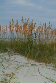 sea oats photo